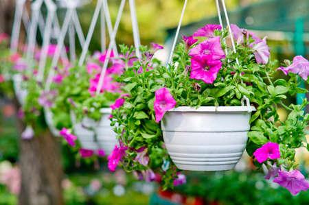 pendent: Flowers in pendent flowerpots  Seasonal blooming Stock Photo