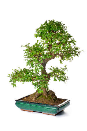 Bonsai tree in ceramic flowerpot on white background