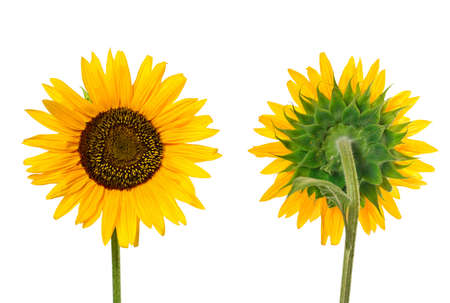 Close view of sunflower. Front and back views.