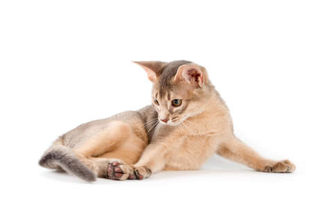 abyssinian cat: Abyssinian kitten on white background Stock Photo
