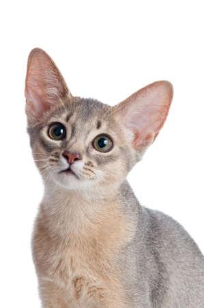 Abyssinian kitten on white background Stock Photo