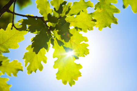 Oak leaves on blue sky and bright sun background. Stock Photo - 5165788