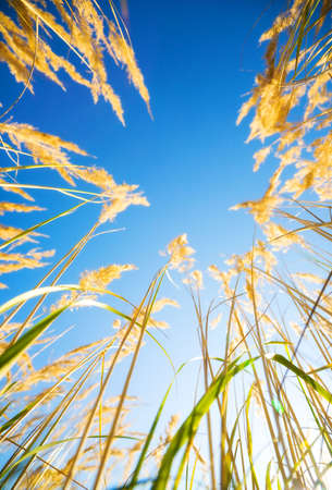 High grass on blue sky background. View from the ground. Stock Photo - 5186094
