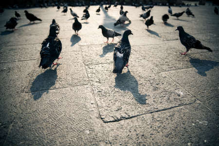 Pigeons in a city. Wide angle view.