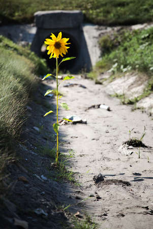 contradiction: Lonely flower in a gutter with garbage and dirt. Desire for life concept.