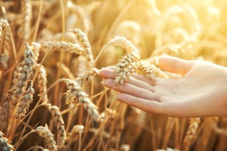 cosecha de trigo: Mano de mujer con espiga de trigo. Luz del atardecer.