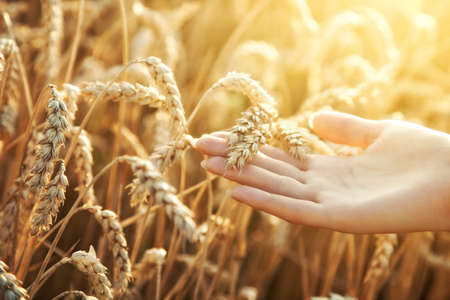 Woman hand with ear of wheat. Sunset light. Imagens