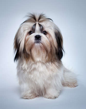 shih tzu: Shih tzu dog on grey background.