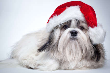 Shih tzu dog in santa hat. photo
