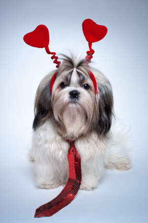 shihtzu: Shih tzu valentines day. Small puppy with red hearts and tie.
