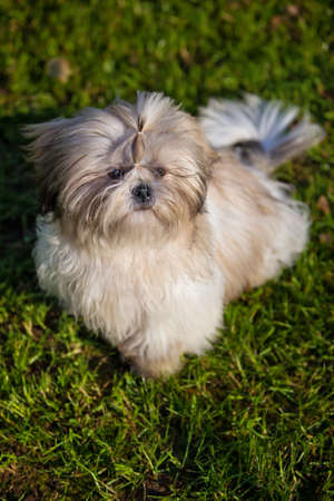 Shih tzu dog sitting on green grass. photo
