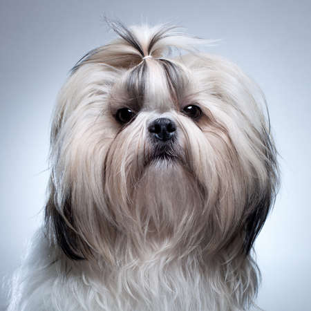 shihtzu: Shih tzu dog on grey background portrait  Stock Photo