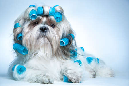 dog grooming: Shih tzu dog with curlers