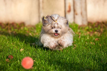 shihtzu: Shih tzu dog running for ball  Stock Photo