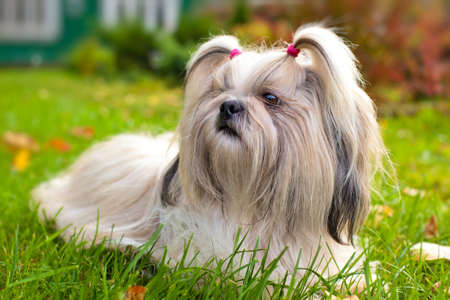 Shih tzu dog lying on grass  Stock Photo