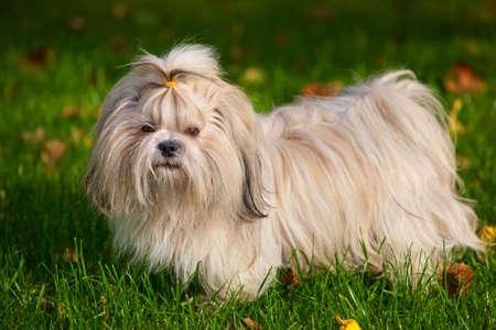 Shih tzu dog on grass  版權商用圖片