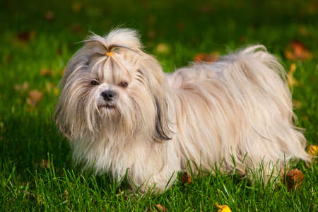 shih tzu: Shih tzu dog on grass  Stock Photo