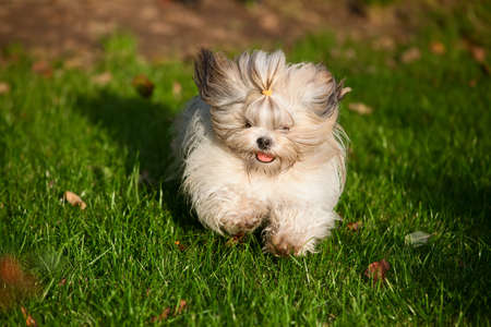 shihtzu: Shih tzu dog running in garden  Stock Photo