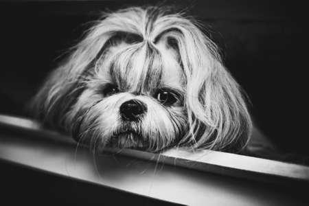 shaggy: Shih tzu dog black and white portrait. Stock Photo