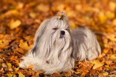 shaggy: Shih tzu dog autumn portrait  Stock Photo