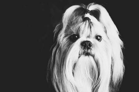 shihtzu: Shih tzu dog black and white film style portrait