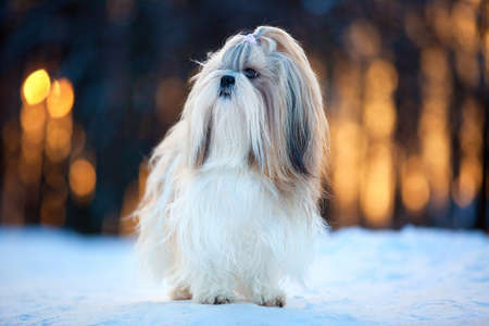 shihtzu: Shih tzu dog winter portrait. Stock Photo