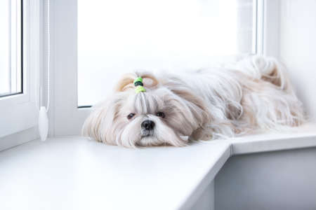 shihtzu: Shih tzu dog lying by windows