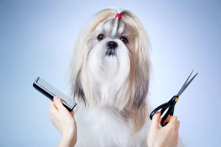 dog grooming: Shih tzu dog grooming  On blue and white background