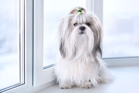 shihtzu: Shih tzu dog sitting by windows  Stock Photo