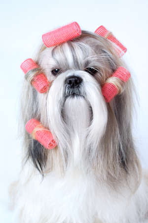 Shih tzu dog with curlers Stock Photo - 25835545