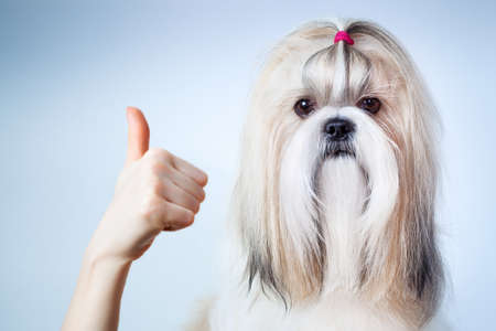 handsignal: Shih tzu dog hand sign  On blue and white