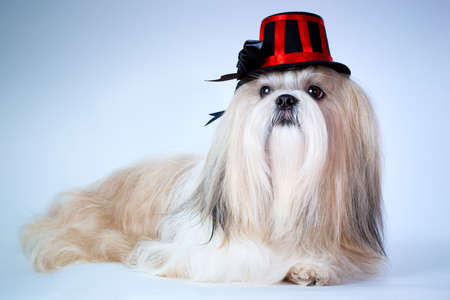 Shih tzu dog in hat portrait