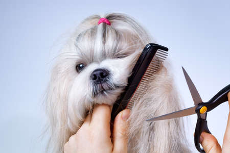 Shih tzu dog grooming with comb and scissors  Фото со стока