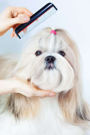 Shih tzu dog grooming with comb  photo