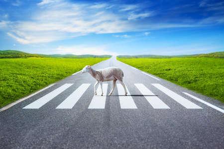 cross road: Sheep walking on crosswalk on field and road background