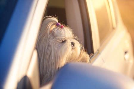 shih tzu: Shih tzu dog looking in car window