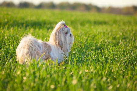 shihtzu: Shih tzu dog on grass  Stock Photo