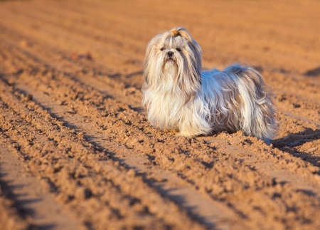 shihtzu: Shih tzu dog on ground. Stock Photo