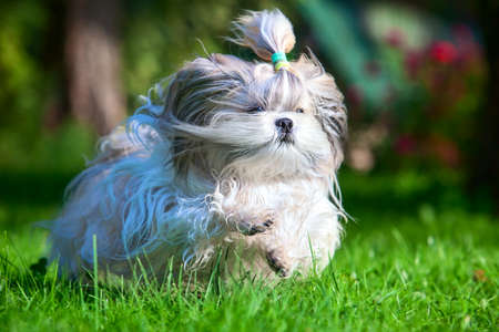 shihtzu: Shih tzu dog running in garden.