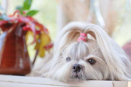 indoors: Shih tzu dog indoors portrait.