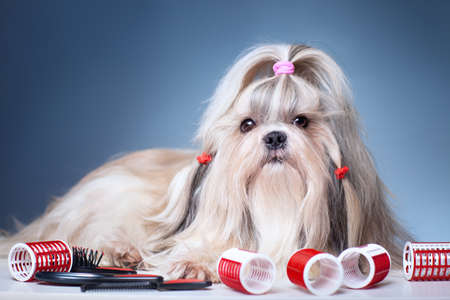 grooming: Shih tzu dog with red curlers grooming on blue background.
