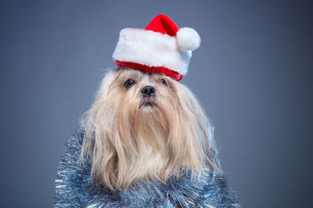 shihtzu: Shih tzu dog in santa hat and silver decoration on blue background.