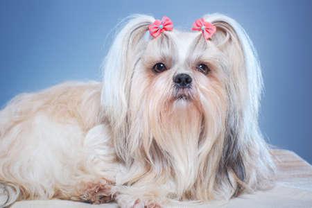 shihtzu: Shih-tzu dog with pink bows portrait on blue background.