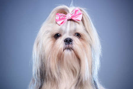 Shih-tzu dog with pink bow portrait on blue background. Stock Photo