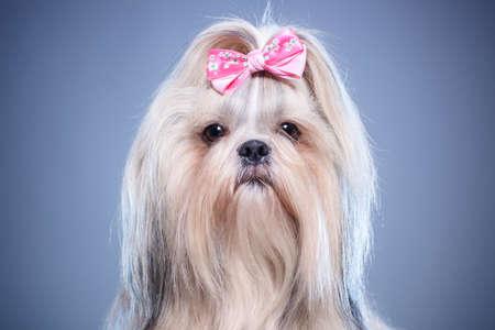 Shih-tzu dog with pink bow portrait on blue background. Stok Fotoğraf