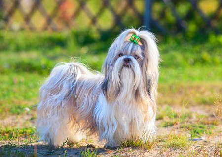 shihtzu: Shih-tzu dog standing outdoors at countryside. Green grass on background. Stock Photo