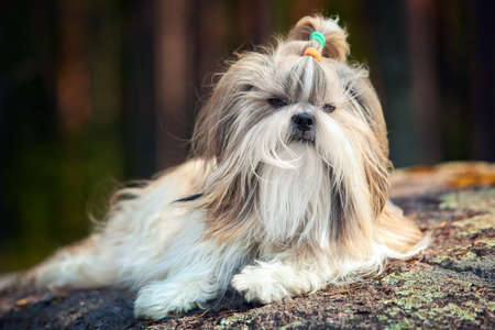 shihtzu: Shih-tzu dog lying outdoors on stone in forest.