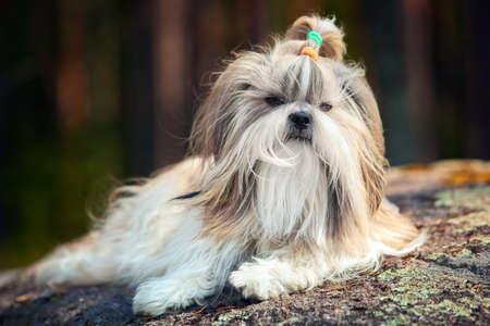 shihtzu: Shih-tzu dog lying outdoors on stone in forest.