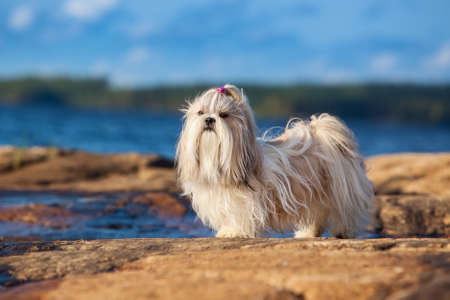 shihtzu: Shih-tzu dog standing on lake shore.