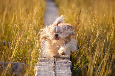 shihtzu: Shih-tzu dog running on wooden path at swamp with high grass. Yellow sunset light.